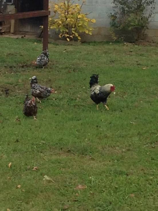 chickens1