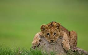 lion-cub-laying-on-rock