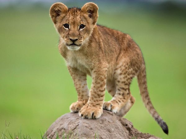 lion-cub-standing-on-rock_27535_600x450